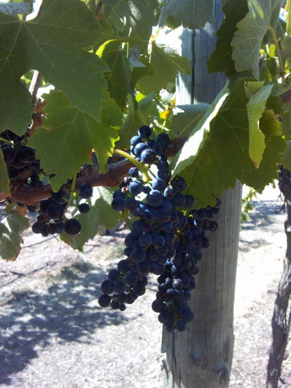 Heathcote Shiraz