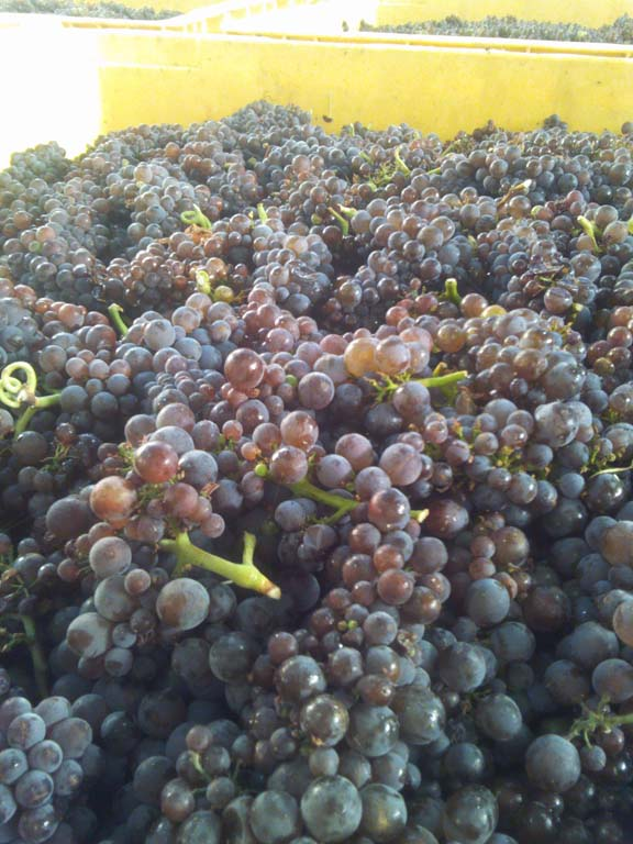 Mornington Pinot gris